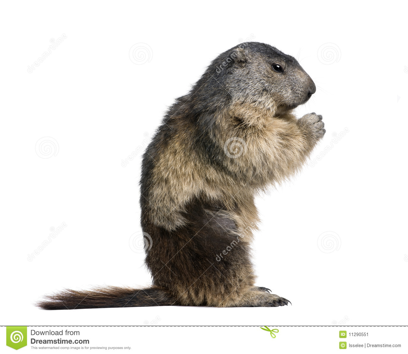 Alpine Marmot Wild Stock Photos, Images, & Pictures.