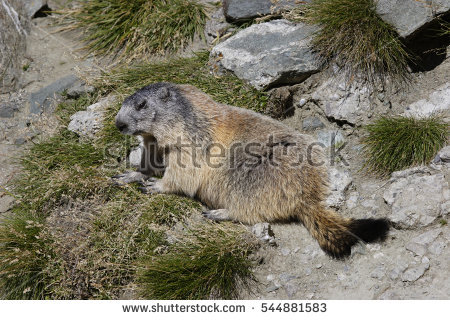 Alpine Groundhog Stock Photos, Royalty.