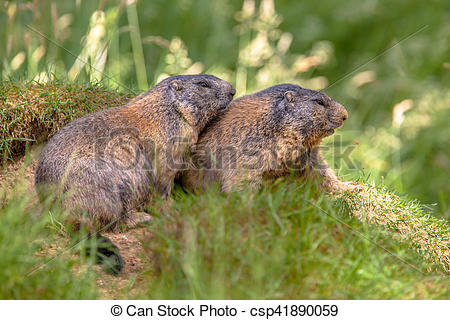 Stock Images of Two Alpine marmots.