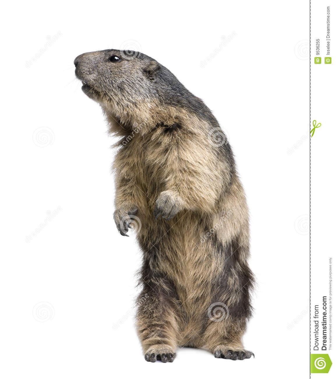 Alpine Marmot.