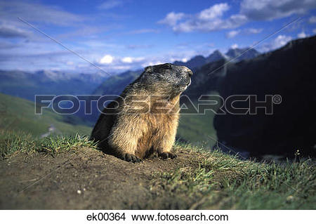 Stock Photo of alpine marmot, Marmota marmota ek00364.