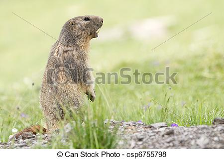 Pictures of Alpine Marmot in the grass.