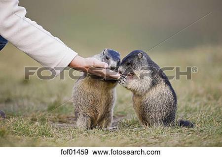 Stock Photograph of Austria, Person feeding Alpine Marmots.