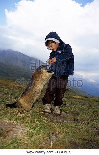 Cheeky Alpine Marmota Marmota Being Stock Photos & Cheeky Alpine.