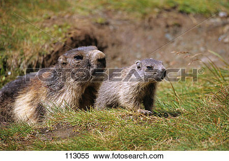 Stock Image of marmot, alpine.