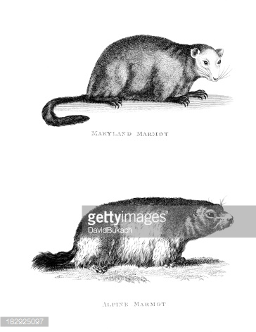 19th Century Engraving of A 'maryland' and 'alpine Marmot' premium.