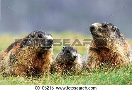 Stock Image of Juniors, Marmorta, Marmota, Marmota marmota, alpine.
