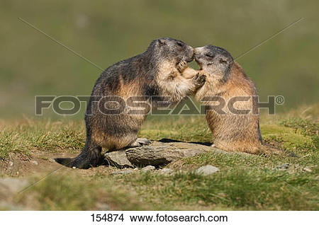 Stock Photo of two Alpine marmots.