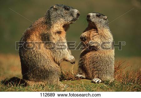 Stock Photograph of marmot, Alpine.