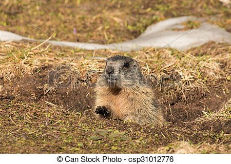 Picture of alpine marmot digging burrow.