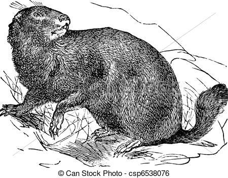 Clip Art Vector of Alpine Marmot or Marmota marmota vintage.