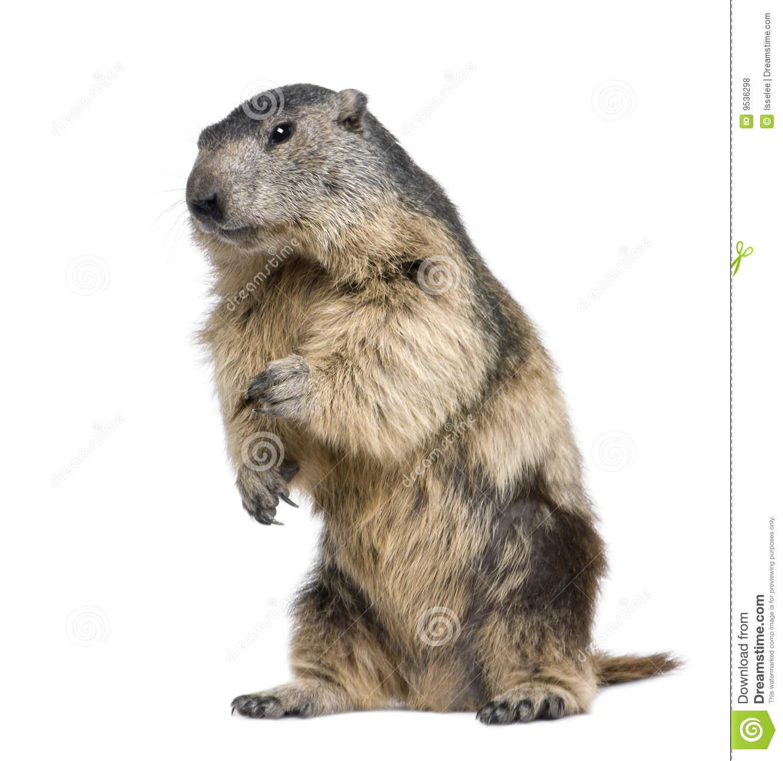 Alpine Marmot (Marmota Marmota) Stock Image.