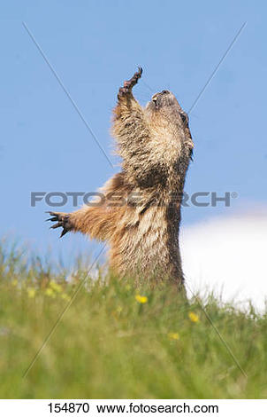 Stock Photography of Alpine Marmot on meadow.
