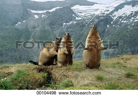 Pictures of Juniors, Marmorta, Marmota, Marmota marmota, alpine.