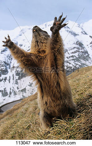 Picture of marmot, alpine.
