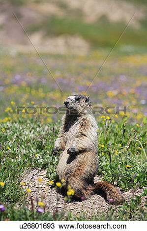 Stock Photo of Hoary marmot (marmota caligata) in an alpine meadow.