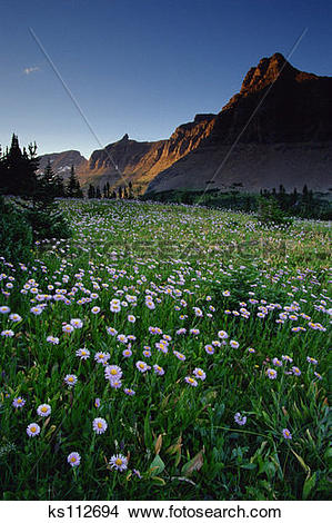Stock Photo of Fleabane in alpine meadow at Logan Pass, Glacier.