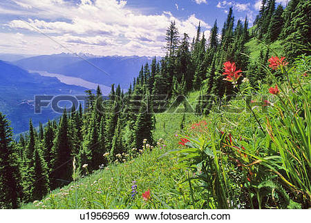 Stock Photograph of Indian Paintbrush flowers bloom in the alpine.