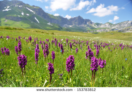 Alpine Flowers Stock Photos, Royalty.