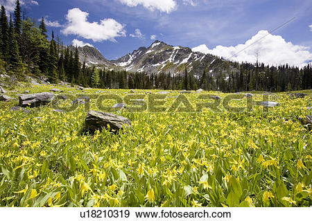 Stock Photograph of Glacier lilies (erythronium grandiflorum.