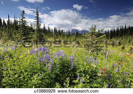 Stock Photograph of Alpine meadows with fir trees and wildflowers.