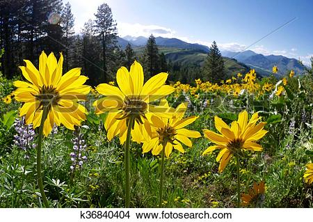 Stock Photo of Backlit Yellow Flowers in Alpine Meadows. k36840404.