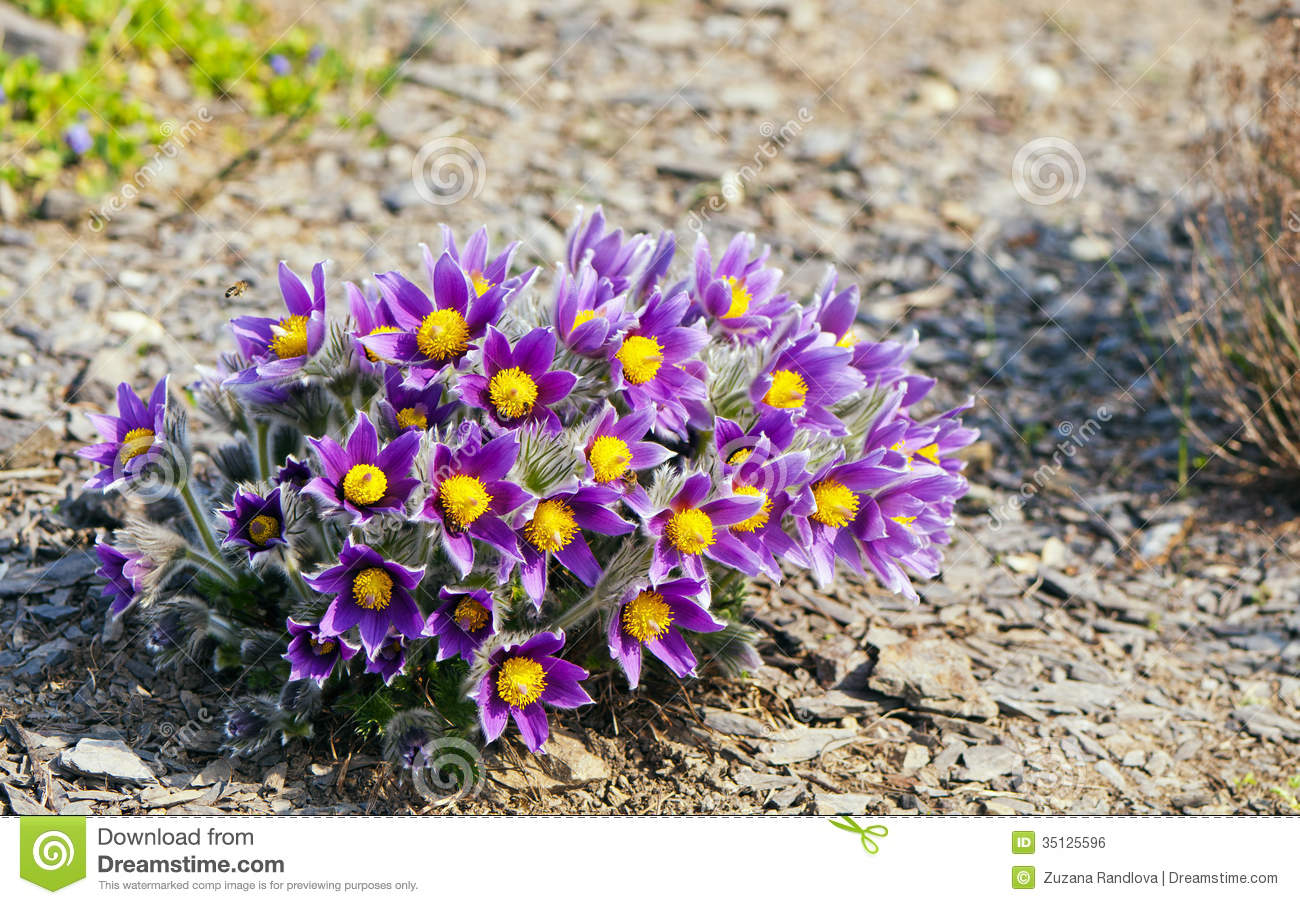 Pasque Flower Royalty Free Stock Image.