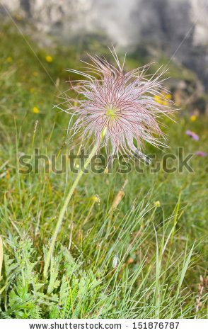 "alpine Pasqueflower"" Stock Photos, Royalty."
