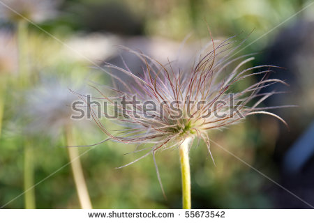 Alpine Pasqueflower Stock Photos, Royalty.
