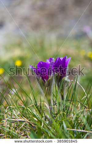 Pasqueflower Stock Photos, Royalty.