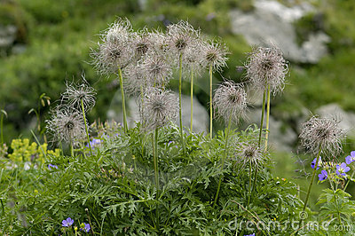 Pasque Flower Seeds Royalty Free Stock Photography.