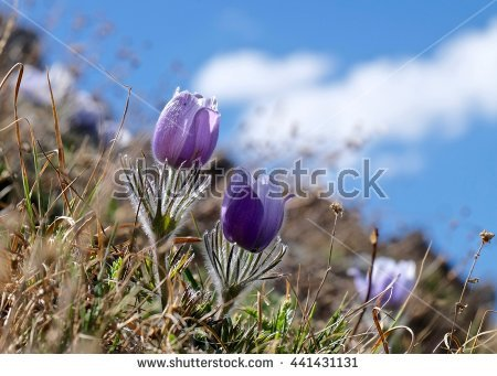 Pulsatilla Stock Photos, Royalty.