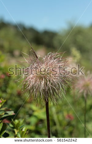 Alpine Pasqueflower Stock Images, Royalty.