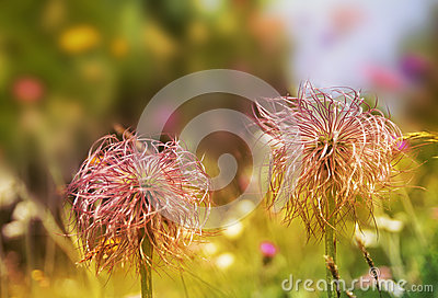 Alpine Pasque Flower Seeds Royalty Free Stock Photography.