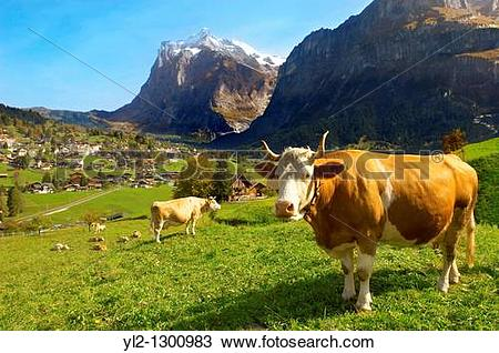 Stock Photo of Milk Cow on Alpine Pasture above Grinderwald.