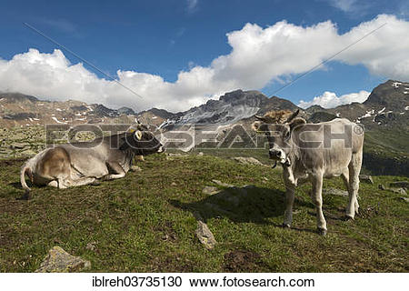 "Stock Photography of ""Tyrolean Grey Cattle on the Timmelsalm."