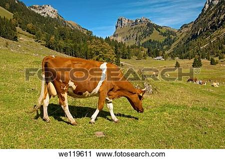 Stock Photography of Swiss Fleckvieh cow grazing on an alpine.