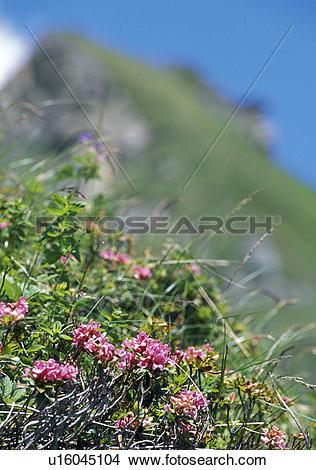 Stock Photo of calf, alp, austria, Alps, alpine plant, colored.