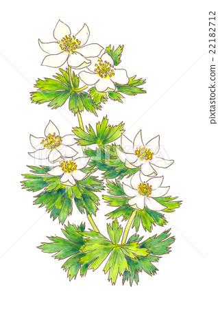 botanic, botanical, alpine plant.