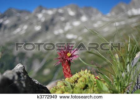 Stock Photograph of flowering Alpine plant k3772949.