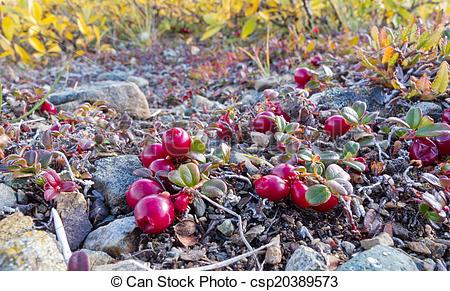 Picture of Cranberries Vaccinium vitis.