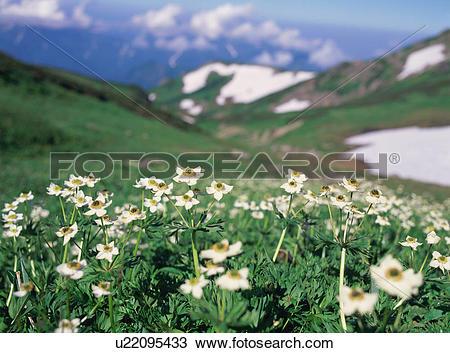 Stock Photo of Alpine plants in Nagano Prefecture, Japan u22095433.