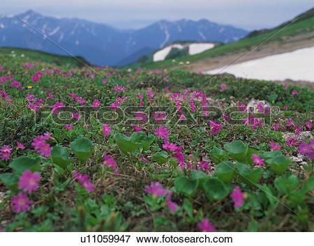 Picture of Alpine plants in Nagano Prefecture, Japan u11059947.