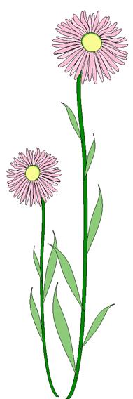 alpine daisy.