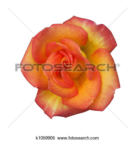 Stock Image of Alpine rose k1059905.
