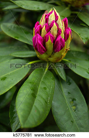 Stock Photography of Rhododendron Buds, Alpine Rose k5775781.