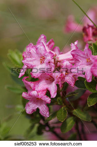 Stock Photo of Austria, Carinthia, Carnic Alps, Hairy Alpine Rose.