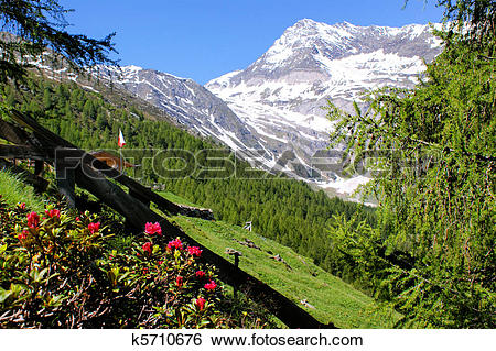 Stock Images of Alpine roses and snowy mountains k5710676.
