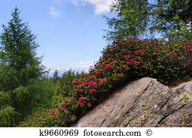 Alpine rose Stock Photo Images. 832 alpine rose royalty free.