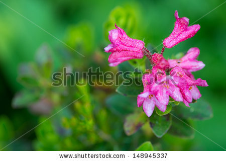 Vector Images, Illustrations and Cliparts: hairy Alpine rose.
